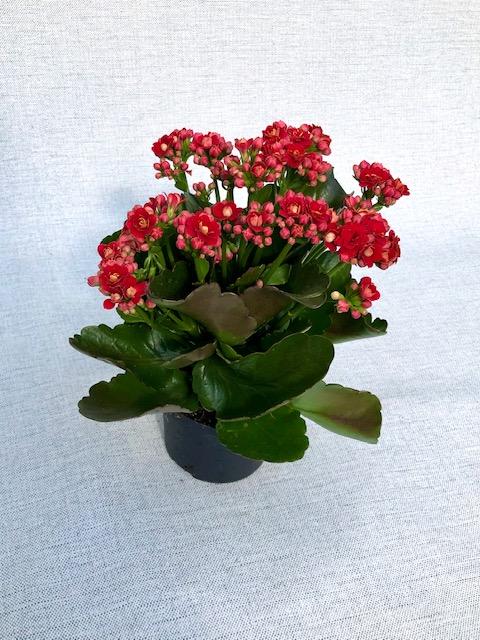Kalanchoe Individual Roja
